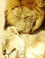 lion_1_mating-93x120