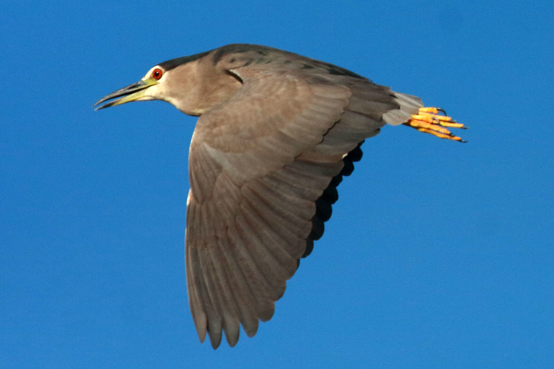 Black-cowned night-heron, Botswana