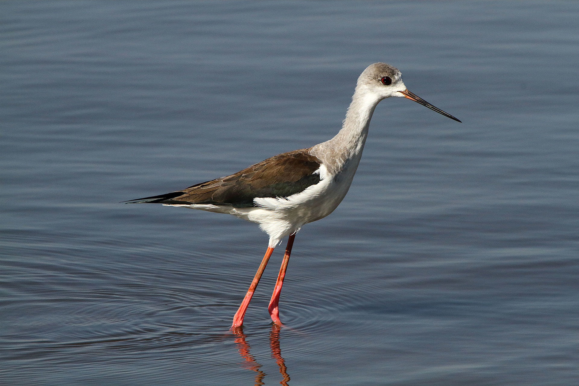Black-winged stilt, Ethiopia, juv