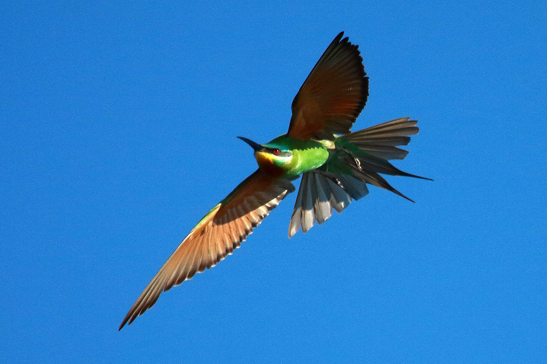 Blue-cheeked bee-eater, Botswana