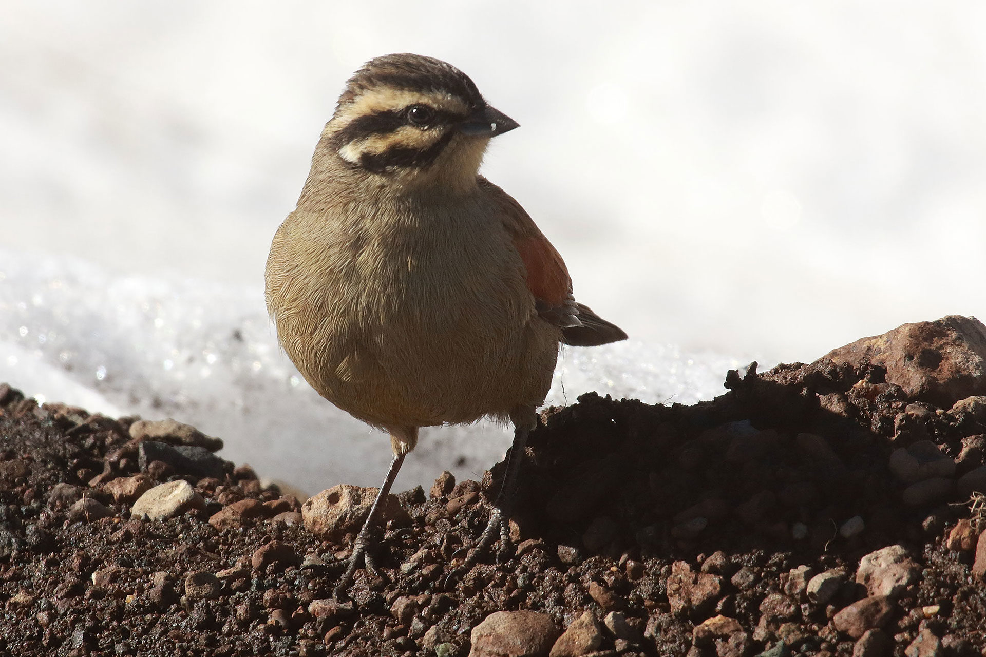 Cape bunting, Lesotho