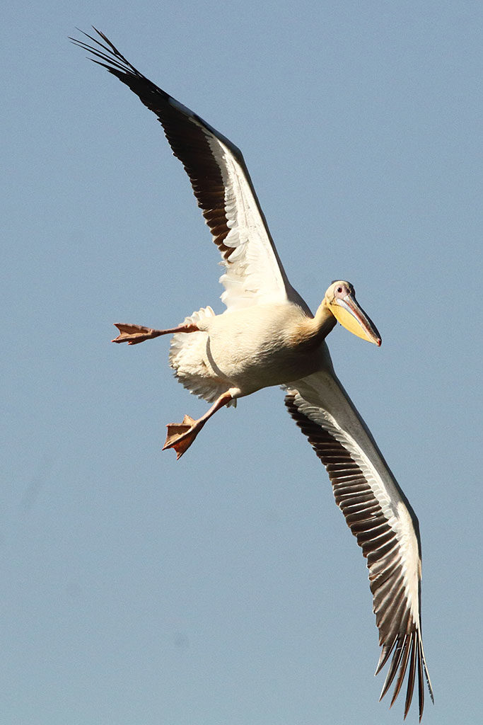 Great white pelican, Ethiopia