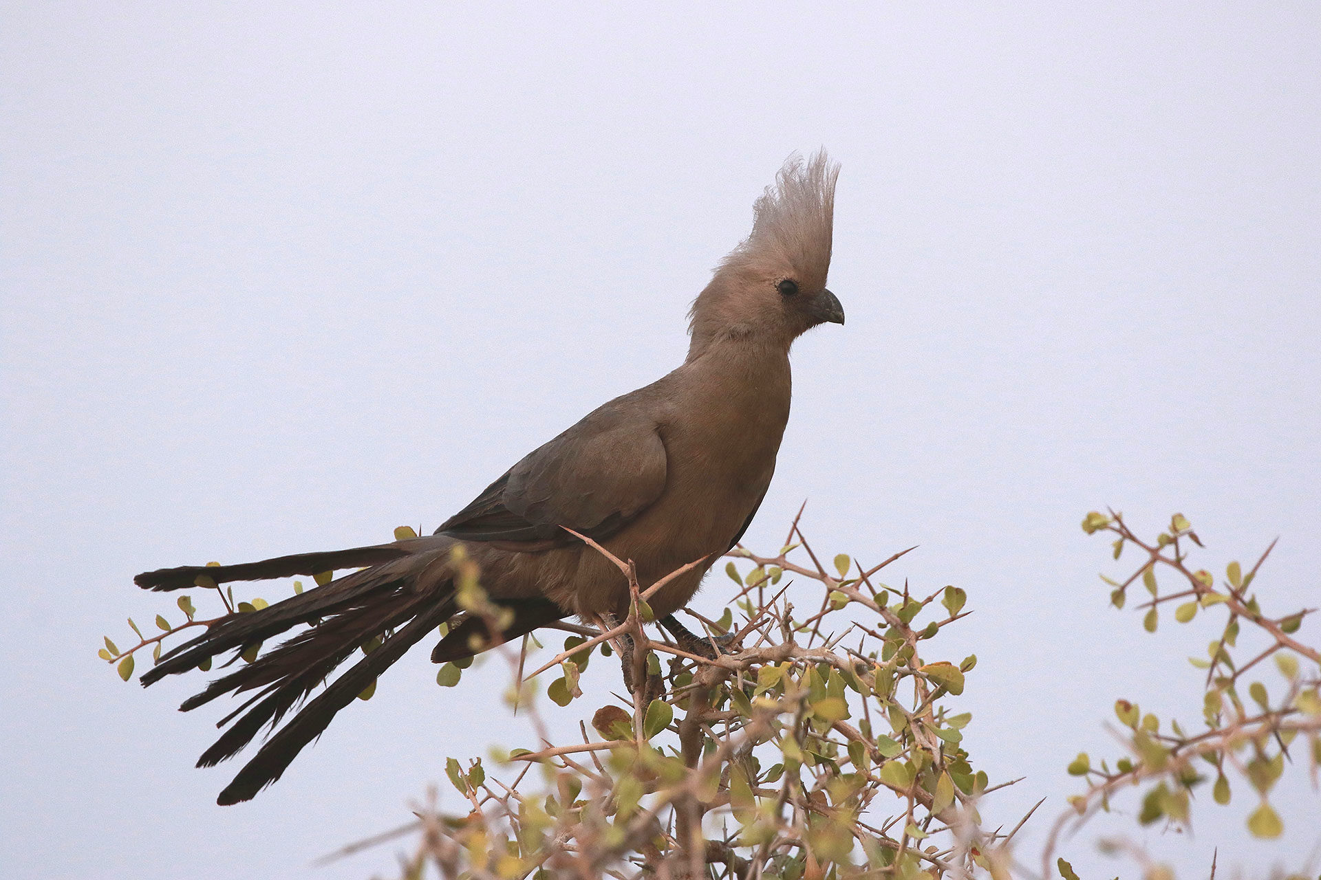 Grey go-away bird, Namibia