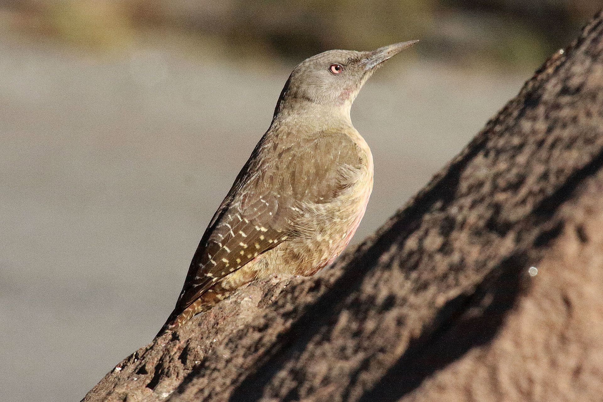 Ground woodpecker, Lesotho