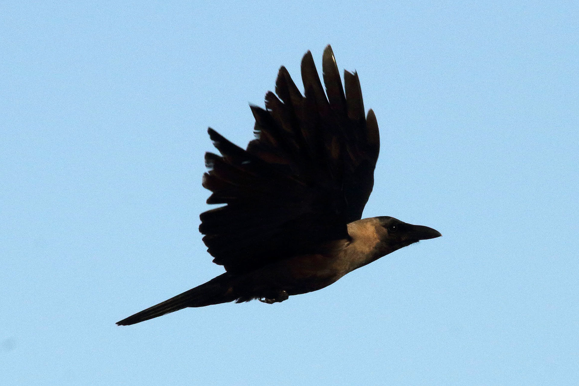 Indian house crow, Zanzibar