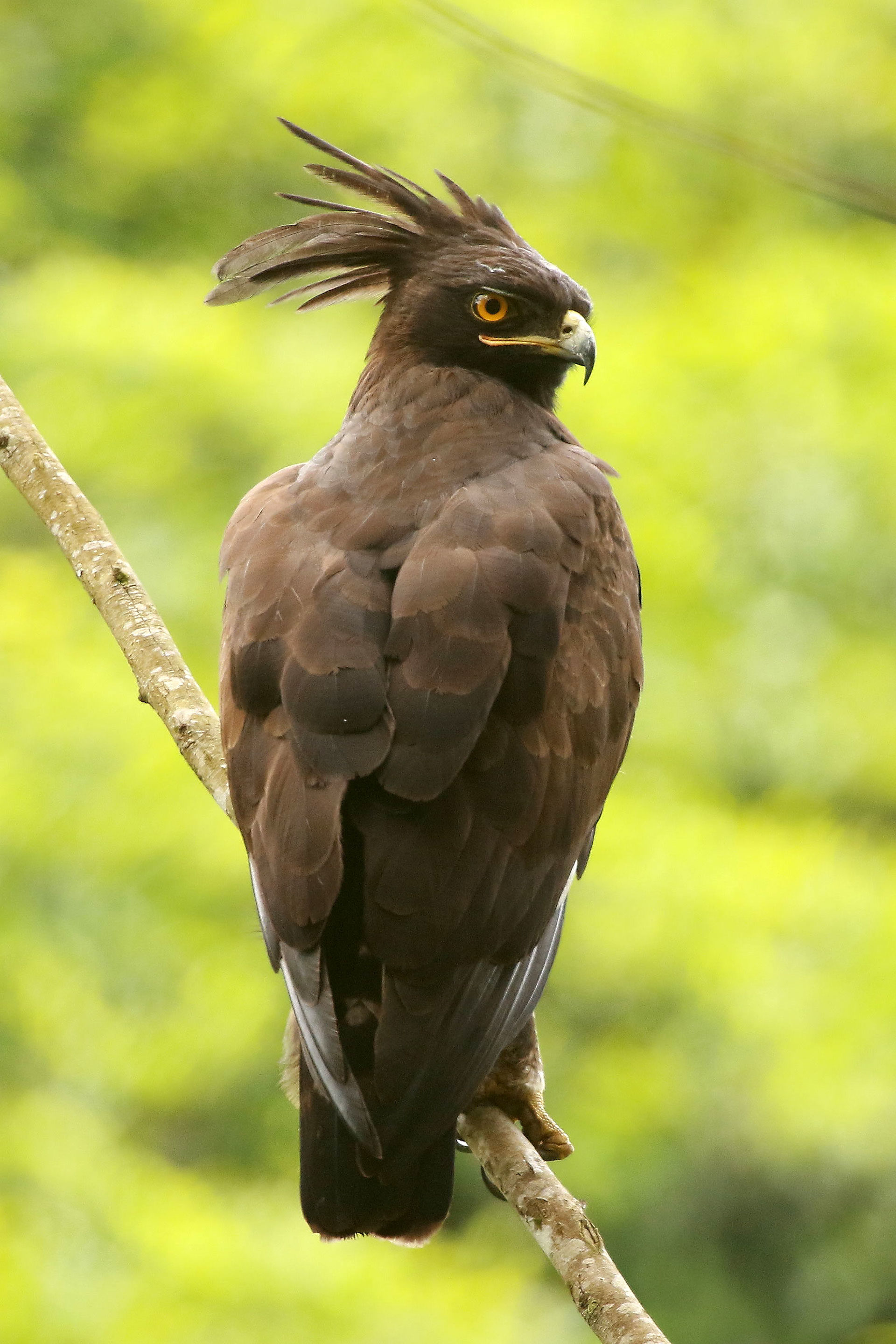 Long-crested eagle, Uganda