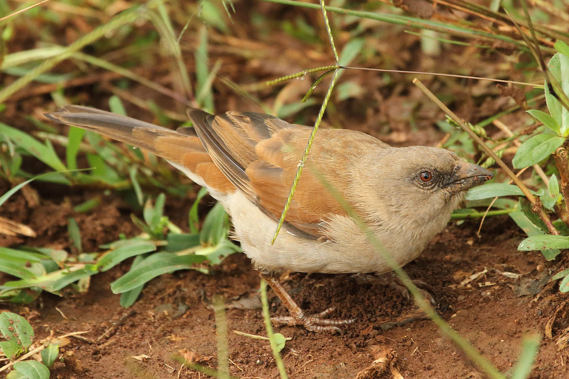 Northern grey-headed sparrow, Rwanda
