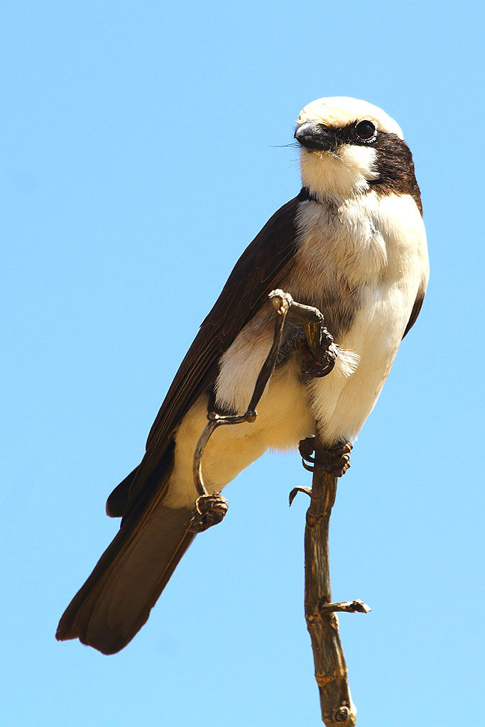 Northern white-crowned shrike, Ethiopia