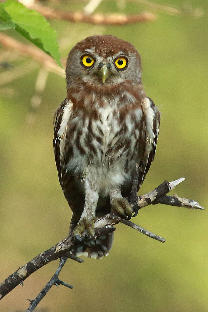 Pearl-spotted owlet, Botswana