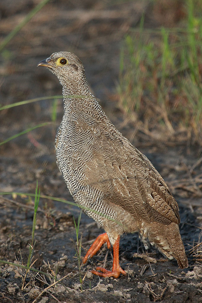Red-billed spurfowl, Botswana, juv