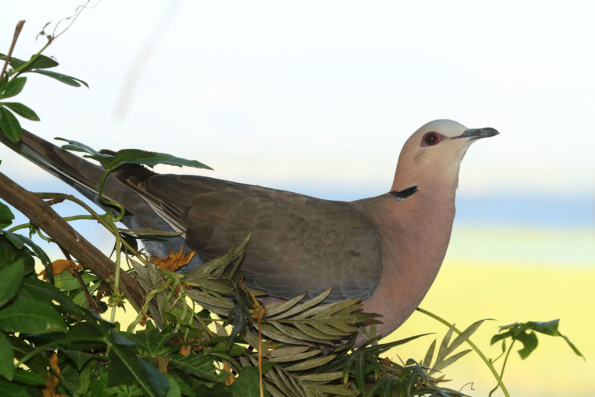 Red-eyed dove, Ethiopia