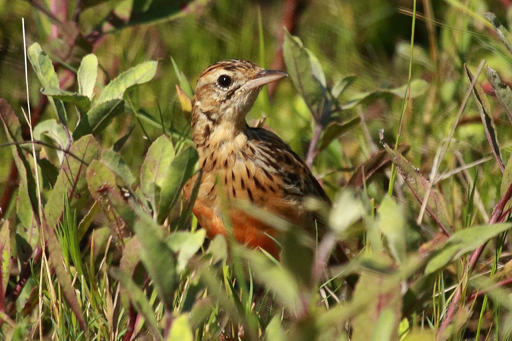 Rosy-throated longclaw, Botswana, juv