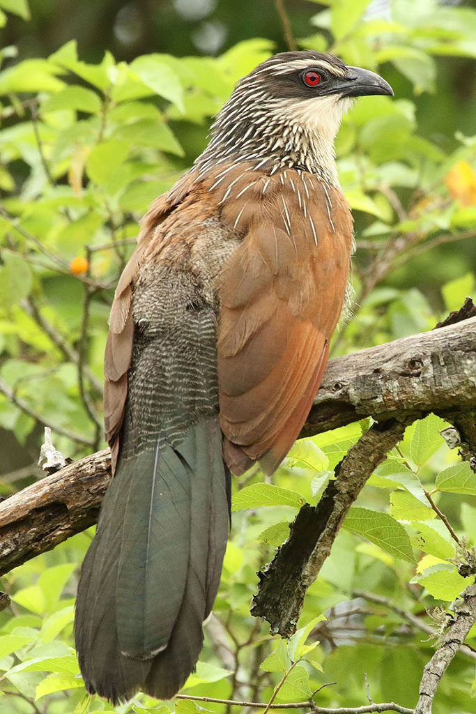White-browed coucal, Rwanda