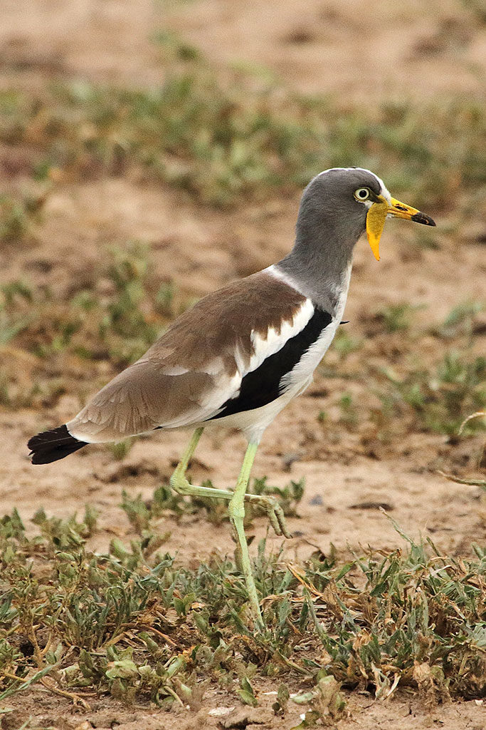 White-crowned lapwing, Zambia