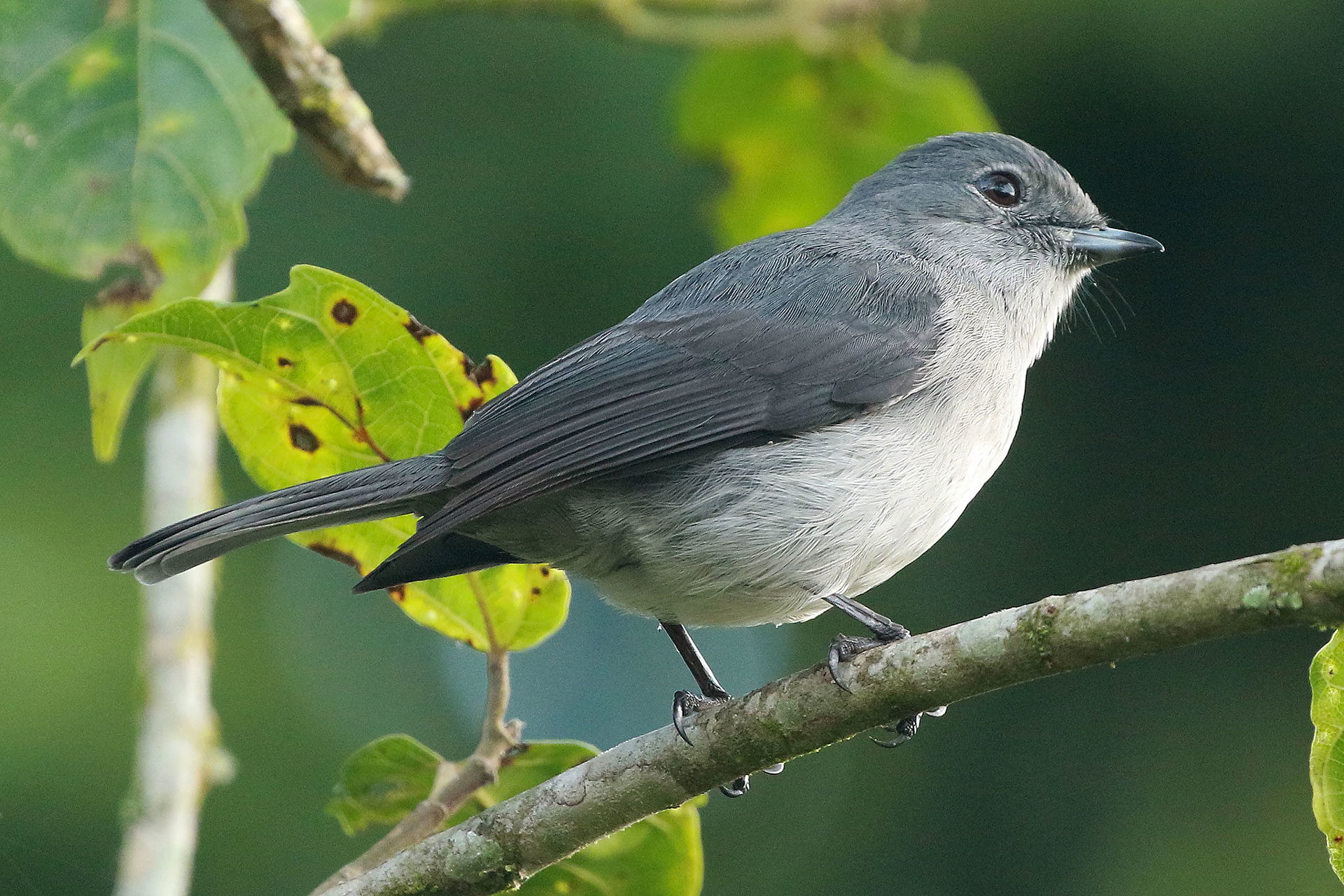 White-eyed slaty-flycatcher, Uganda