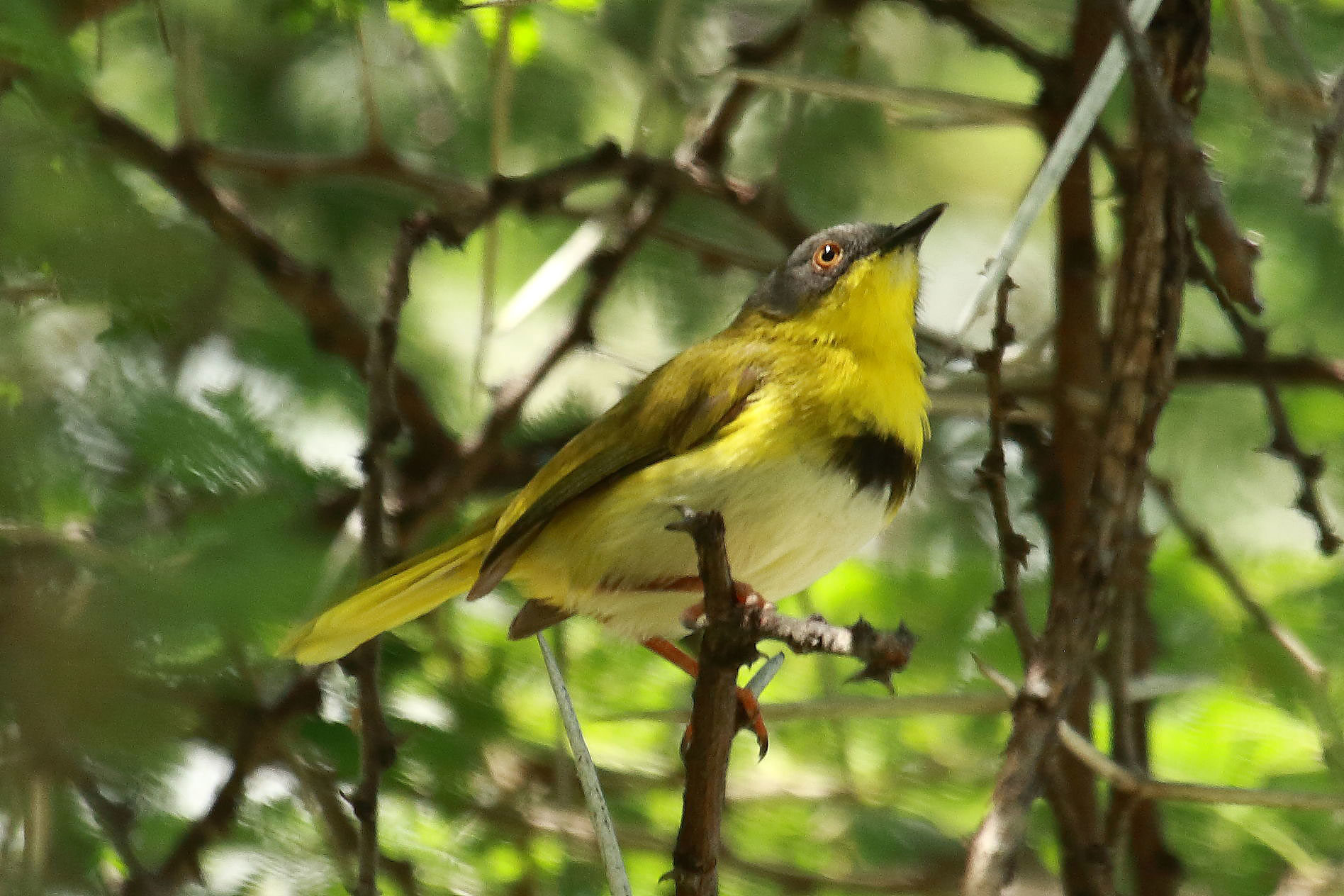 Yellow-breasted apalis, Botswana