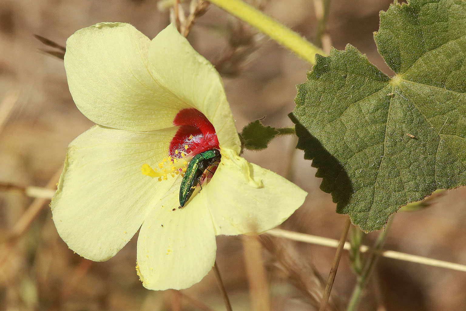 A-hibiscus-flower-being-visited-by-a-jewel-beetle-Nature-Guide-Training-Botswana