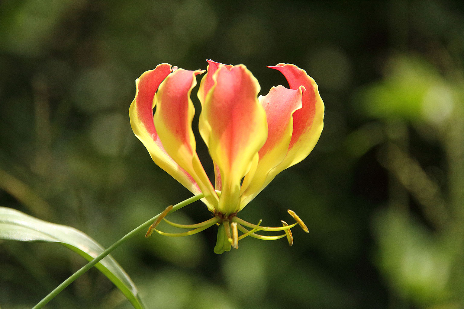 A-magnificent-red-and-yellow-flame-lily-Nature-Guide-Training-Botswana