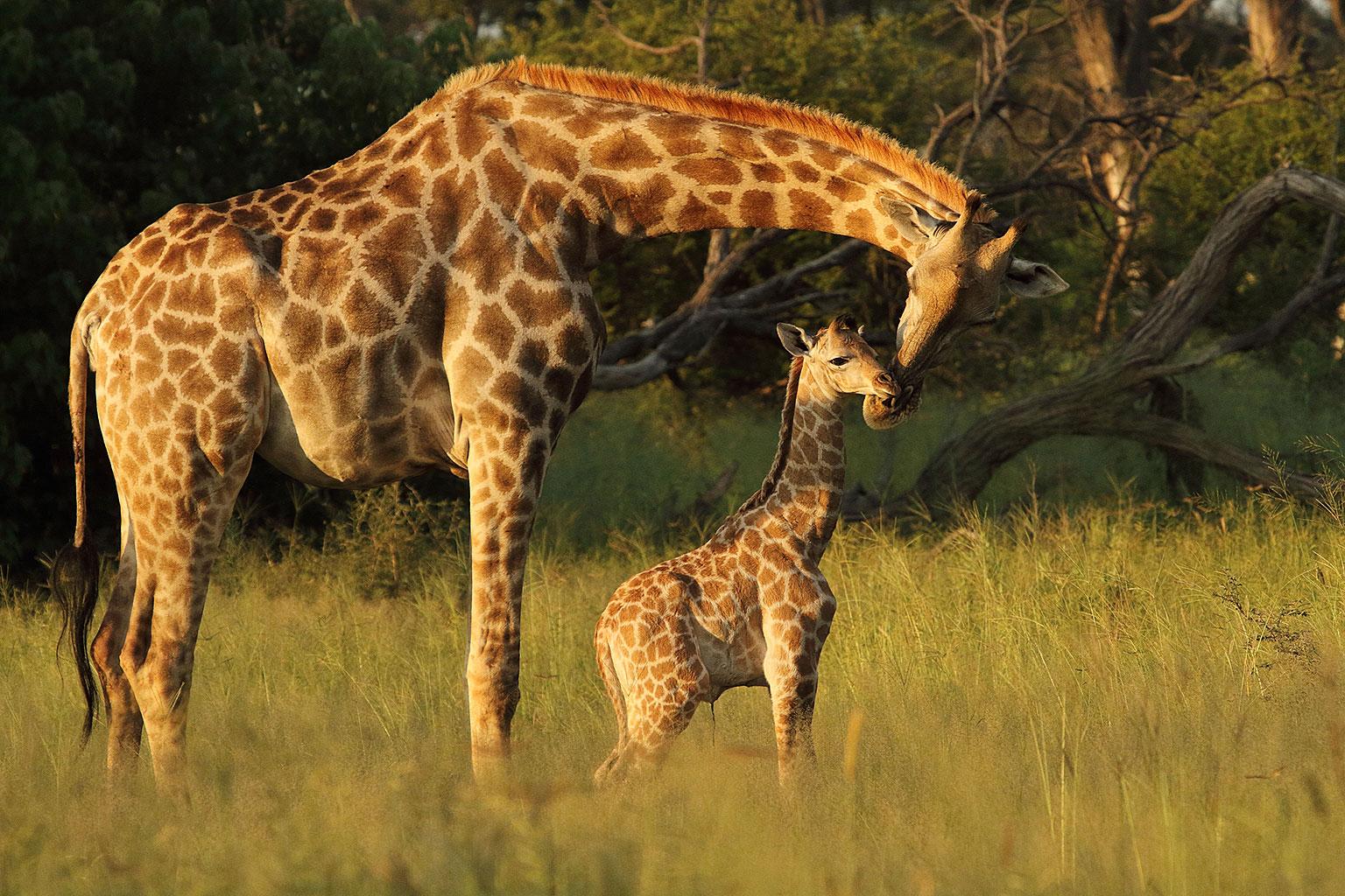 A-mother-Angolan-giraffe-tends-to-her-calf-Nature-Guide-Training-Botswana