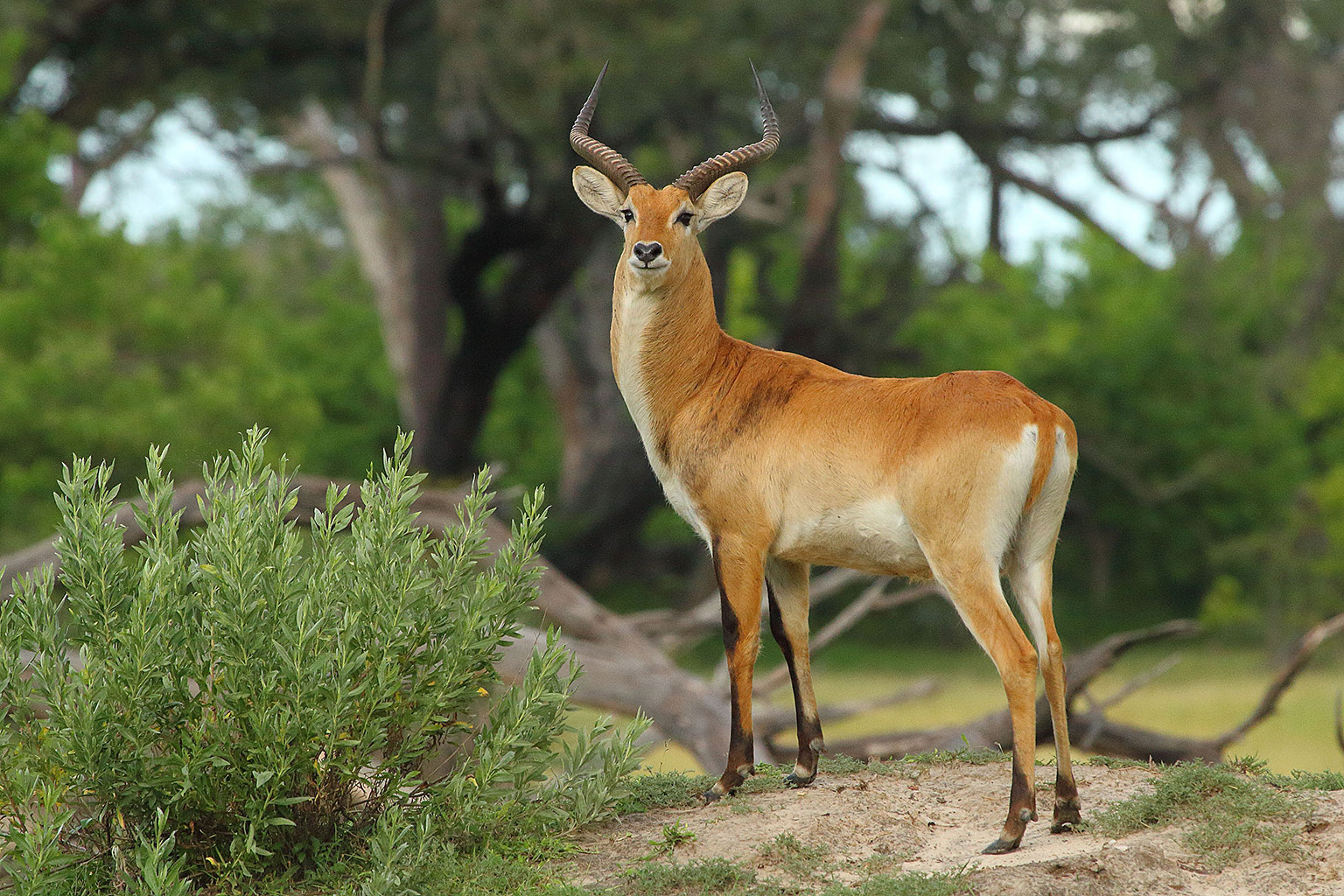 A-red-lechwe-bull-Nature-Guide-Training-Botswana