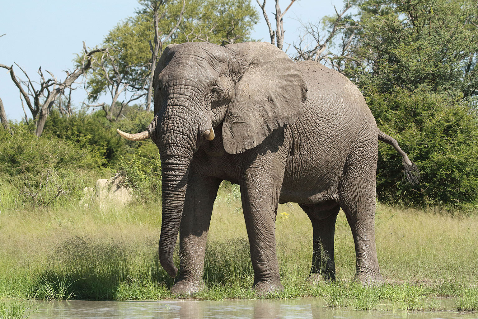 An-elephant-bull-Nature-Guide-Training-Botswana