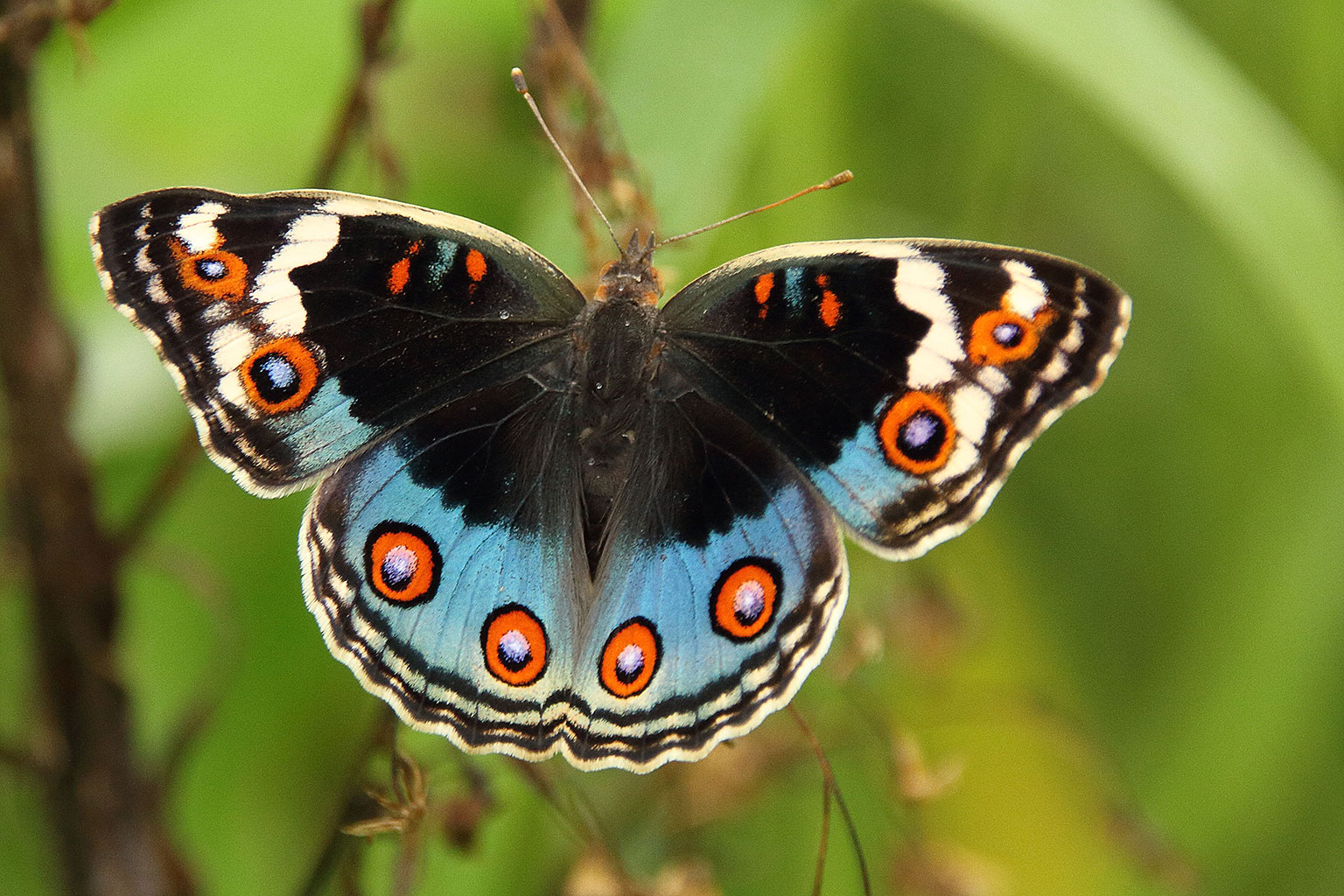 There-are-many-butterfly-species-in-the-Okavango-Delta-Nature-Guide-Training-Botswana
