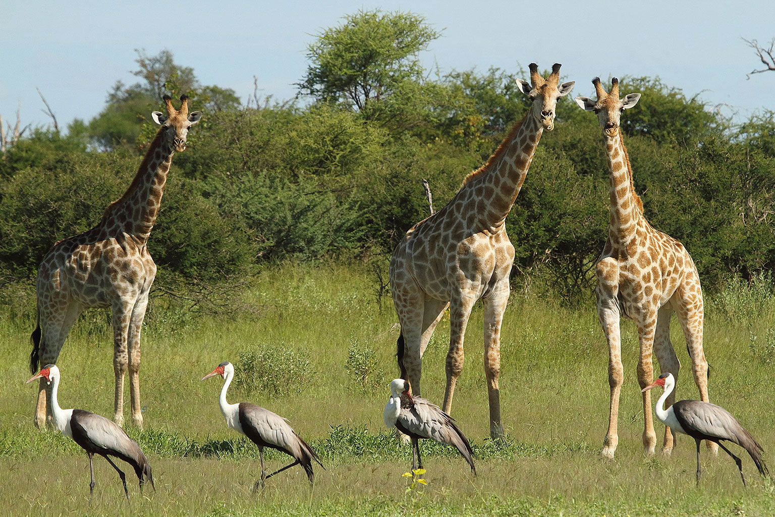 Wattled-cranes-and-Angolan-giraffes-Nature-Guide-Training-Botswana