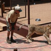 Captive-lions,-2009