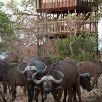 Buffaloes-at-the-tree-house,-Africa-on-Foot,-2010