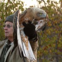Derek-Solomon-captures-an-injured-juvenile-Black-chested-snake-eagle,-Waterberg